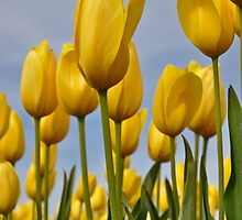Yellow Tulips by Jim Adams