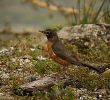 Young Robin 2 by njumer