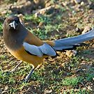 Rufous Treepie (Dendrocitta vagabunda) by Konstantinos Arvanitopoulos