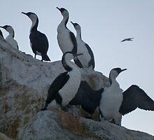 Cormorants on the rocks - Glenelg, South Australia by Dan & Emma Monceaux