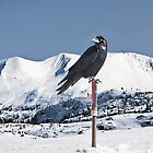 Raven @ Summit by Yukondick