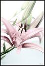 Lily by KBritt