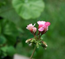 Geranium by Carolyn Clark
