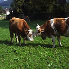 Cows Nuzzling by sally-w