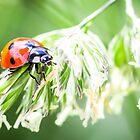 Ladybug by Proobjektyva