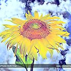 Enchandted-HDR-Sunflower by shivonnejean