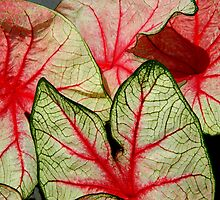 Caladium Leaves   ^ by ctheworld