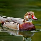 Apricot Wood Duck  by Daniel  Parent