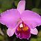 Cattleya Orchid by Carole-Anne