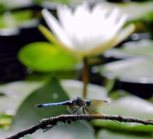 Dragonfly & White Lily by Sharon Woerner
