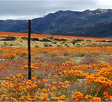 WILDFLOWERS OF  NAMAKWA, WESTERN CAPE, SOUTH  by Magaret Meintjes