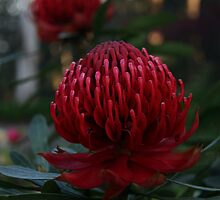 Waratah at Mt Wilson NSW by Timothy John Keegan