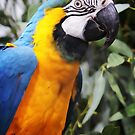 Yellow and Blue Macaw by Rookwood Studio ©