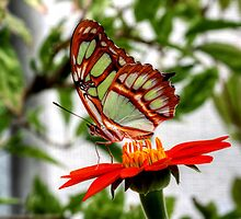 Malachite Butterfly by Larry Trupp