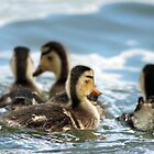 Ducklings in the Water by Callie Smith