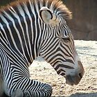 Zebra Portrait by SierraMLatkje