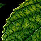 Hydrangea's leaves by bubblehex08