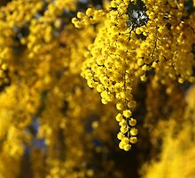 Raining Wattle by Joy Watson