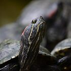 RED EARED TERRAPIN by marjack