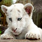White Lion Cub by Kuilz