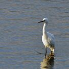 Little Egret (Egretta garzetta) by Chris Monks