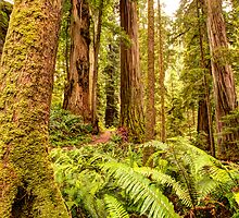 Deep Forest Redwoods by Dale Lockwood