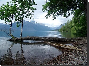 Fallen Aspen, Lake McDonald - Glacier National Park, MT by May Lattanzio