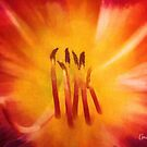 Daylily Fireburst by Anita  Pollak