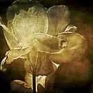 Ghost Rose by Anne  McGinn