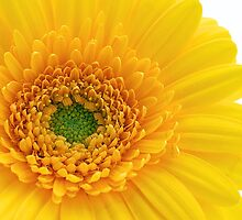 Vibrant Yellow by Fern Blacker