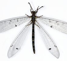 Antlion by jimmy hoffman