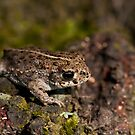 Natterjack Toad  by Csar Torres