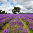 Mayfield Lavender by Rachael Talibart
