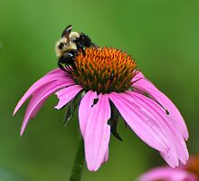 Bee on Purple Coneflower by mltrue