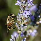 Bees Love Lavender by lynn carter