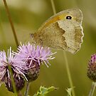 Meadow Brown by jesika