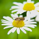 Bee on daisy by Arve Bettum