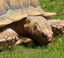 Giant Tortoise  by LoneAngel