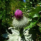 Thistle by Peter Wiggerman