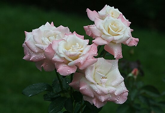 Rainy Day Roses by Monnie Ryan