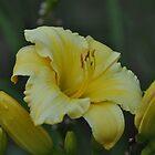 Lemon Lily  by RoyceRocks