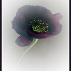 Poppy by Photos - Pauline Wherrell