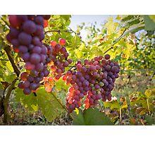 Ripe for harvest. Photographic Print