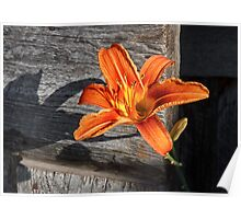 Orange Lily and Weathered Wood Poster