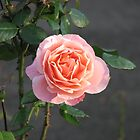 Sunkissed Pink Rose by kathrynsgallery