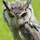 Northern White-faced Owl by Moonlake