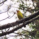 Western Tanager by Pbratt79