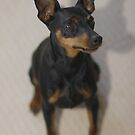 Izzy the MinPin by Stephen Mitchell