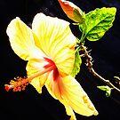hibiscus sun by Hannah Clair Phillips