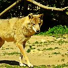 """"""" Are there Wolves in France?? Yep we saw them!"""" by mrcoradour"""
